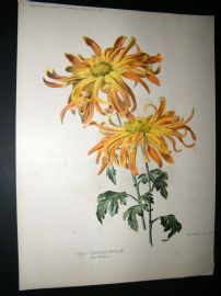 Amateur Gardening 1897 Botanical Print.  Single Chysanthemum.